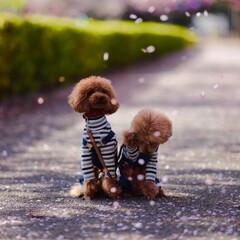 桜吹雪/ペット/犬/兄弟/トイプードル/春のフォト投稿キャンペーン/... 桜の花吹雪が顔にかかっちゃったみたいで気…
