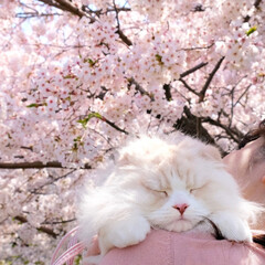 おやすみショット/LIMIAペット同好会/LIMIAおでかけ部/猫/お花見/桜/... お花見してたら ぽかぽかいい気持ち...…