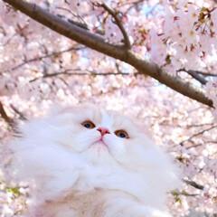 おでかけワンショット/LIMIAペット同好会/LIMIAおでかけ部/猫/お花見/桜/... 暖かな春風になびく 金さんのほっぺ🌸 ラ…