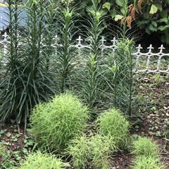 コキアのほうき/コキア/ゆり/職場の庭/デイサービス 職場の庭の百合がだいぶ成長してきました❣…