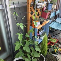 コキア/朝顔/職場の庭/デイサービス 職場の庭に種まきしたコキアちゃん達❣️ち…(2枚目)