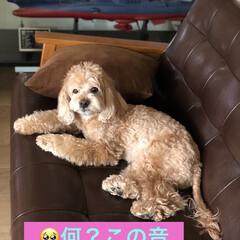 ミチョ/愛犬/美酢/美酢マンゴー/美酢ざくろ 美酢のマンゴー🥭見〜つけた❣️ 初めて見…(2枚目)
