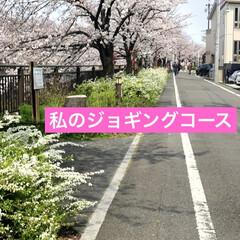 ジョギングコース/犬と散歩/犬と暮らす/お散歩/愛犬/花見/... 今日は🌸桜の日🌸 空ちゃんと🌸桜並木をお…(2枚目)