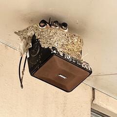職場/デイサービス/心太/ところてん/ツバメの巣 ツバメさんが巣からひょっこり顔を出してま…(1枚目)