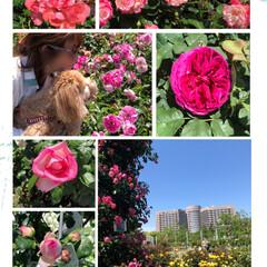 バラ/種類が多いね/きれい/菖蒲園/バラ園 空ちゃんの🐶フィラリア🏥の帰りに、お散歩…