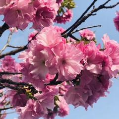 八重桜 🌸キレイな八重桜🌸咲いてました〜❣️  …(1枚目)