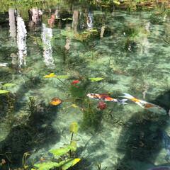 女子力アップ?/シロツメグサの花冠/愛犬と孫/モネの池 岐阜の名もなき池 通称モネの池へ行ってき…