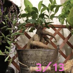 ユリの蕾/ひまわり/ゴーヤ/デイサービス/職場の庭/ガジュマルの木/... ガジュマル君の葉が伸びて来ましたぁ❣️ …(2枚目)