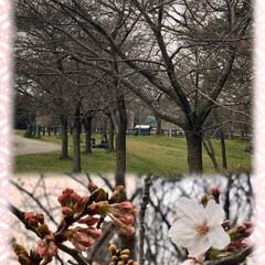 お散歩/わんこ同好会/楽しみには後少し/桜 早起きして自宅近くの公園へ🐶お散歩 満開…