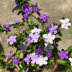 わんこ/愛犬/楽しみ/癒し/職場の庭/デイサービス/... 2日続けての においばんまつり❣️ お花…