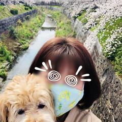 ジョギングコース/犬と散歩/犬と暮らす/お散歩/愛犬/花見/... 今日は🌸桜の日🌸 空ちゃんと🌸桜並木をお…(10枚目)