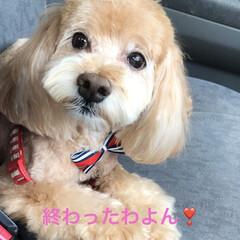 夏らしくスッキリ/愛犬/サマーカット/トリミング 空ちゃんトリミングに行って来ましたぁ❣️…(2枚目)