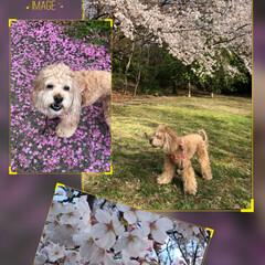 7.8分咲き/桜/お散歩 昨日ですが 近所の公園へ🐶空ちゃんとお散…