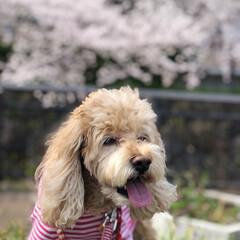 ジョギングコース/犬と散歩/犬と暮らす/お散歩/愛犬/花見/... 今日は🌸桜の日🌸 空ちゃんと🌸桜並木をお…(1枚目)