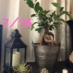 ユリの蕾/ひまわり/ゴーヤ/デイサービス/職場の庭/ガジュマルの木/... ガジュマル君の葉が伸びて来ましたぁ❣️ …(1枚目)