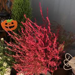 デイサービス/職場の庭/コキア ベランダのコキアちゃんが真っ赤になりまし…