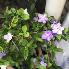 デイサービス/職場の庭/ももいろハート/コキア/朝顔/においばんまつり においばんまつり💕今年3回目の花が咲きま…