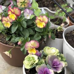 ビオラ/パンジー/葉牡丹/シクラメン/ベランダ 少し前に植えたベランダの花たちが💕賑やか…