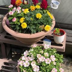 癒し/ももいろハート/サフィニアアート/職場の庭/デイサービス おはようございますます☀️今日も暑くなり…