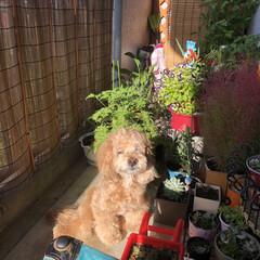 ベランダ/ペット同好会/わんこ同好会/かくれんぼ/フォロー大歓迎 朝陽が眩しい🐶空ちゃんです❣️ 植木鉢の…