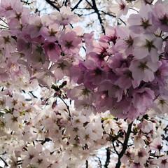 ジョギングコース/犬と散歩/犬と暮らす/お散歩/愛犬/花見/... 今日は🌸桜の日🌸 空ちゃんと🌸桜並木をお…(3枚目)