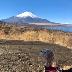 富士五湖/わんこ同好会/山中湖/富士山/フォロー大歓迎 昨日は☀️お天気が良くて最高🗻でした〜 …