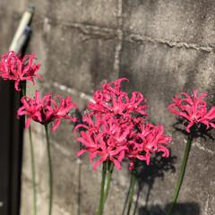 可愛らしい/ピンクちゃん/ダイヤモンドリリー ピンクの彼岸花みたいな😊💎ダイヤモンドリ…(1枚目)
