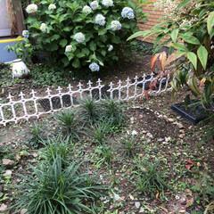 紫陽花/癒されます/楽しみ/コキア/ひまわり/ゆり/... 職場のお庭の百合が成長してきました😊 毎…