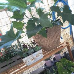 賃貸暮らし/賃貸インテリア/癒し空間/グリーンのある暮らし/観葉植物のある暮らし/ベランダガーデン/... 今日は洗濯日和のいいお天気☀️  最近ま…
