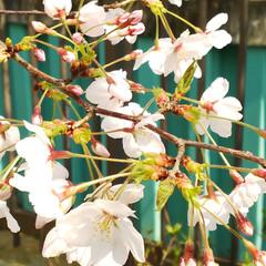 サクラ/さくら/桜並木/LIMIAおでかけ部/フォロー大歓迎/おでかけ/... 仕事に行く道の川沿いの桜並木の桜🌸 この…