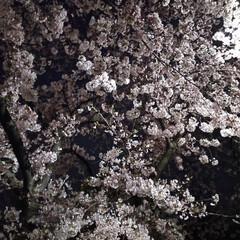 夜桜/お花見/桜並木/さくら/サクラ/春のフォト投稿キャンペーン/... こんばんはー✨仕事帰りに 夜桜🌸眺めなが…