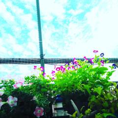 久しぶりの青空/ももいろハート/サファニアアート/トレニア/植物のある暮らし/グリーンのある暮らし/... 久しぶりの青空🌞  やっぱり晴れると気持…(1枚目)