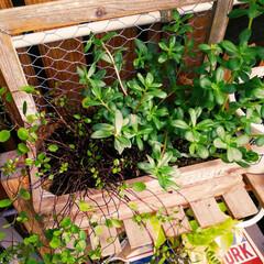 ポーチュラカ/ワイヤープランツ/グリーンのある暮らし/観葉植物のある暮らし/観葉植物/ガーデニング/... 今日も暑い💧💧  水やり忘れて💧枯らした…