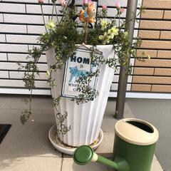 花のある暮らし/ローダンセマム/クレマチス/鉢植え 先日植え替えた玄関の鉢 大好きなクレマチ…
