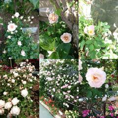 おでかけ/バラ園/薔薇/暮らし おはようございます🙇 昨日母と何年かぶり…