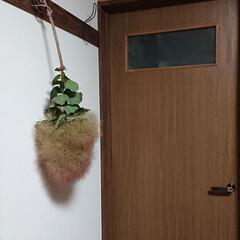 孫/子猫/スモークツリー/廊下/ダイソー/ハンドメイド/... スモークツリー ドライになった子をお飾り…(6枚目)