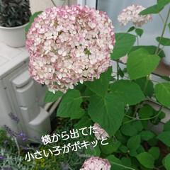 紫陽花/雑貨/ドライフラワー おはようございます🙇 朝からジャジャ🐈と…(2枚目)