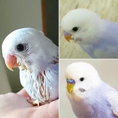 可愛い/動物/インコ/小鳥/セキセイインコ/フォロー大歓迎/... 横顔変遷😁  ①お迎え直後 ②挿し餌卒業…