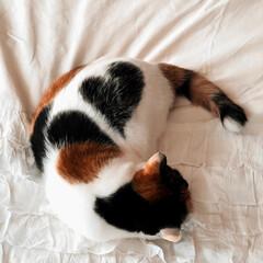 ハート柄/三毛猫/ハート/猫/にゃんこ同好会/おやすみショット うちのハートちゃん。 目も開いてない状態…