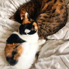 三毛猫/ベンガル猫/多頭飼い/猫/にゃんこ同好会/おやすみショット まさおくんとこまめたん。 まさおに埋もれ…