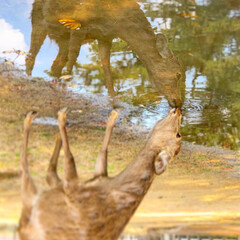 水たまり/鹿さん/春のフォト投稿キャンペーン/春/おでかけワンショット 水たまりの向こうの鹿さん。 喉乾いてるん…