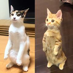 二足立ち/マンチカン/三毛猫/猫/春のフォト投稿キャンペーン/LIMIAペット同好会/... お姉ちゃんと比較。 足の長さが違う。なん…