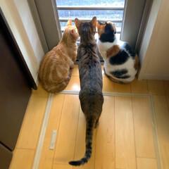マンチカン/三毛猫/ベンガル/猫/多頭飼い 1人追加で
