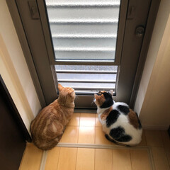 マンチカン/三毛猫/多頭飼い/猫 二人でにゃんパト