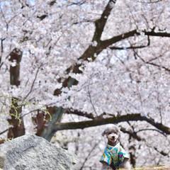 シルバープードル/トイプードル/プードル/春のフォト投稿キャンペーン/LIMIAペット同好会/LIMIAおでかけ部/... 着物でお花見🌸