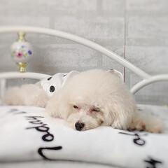 LIMIAペット同好会/ペット/ペット仲間募集/犬/わんこ同好会/おやすみショット/... ねんね😪😴💤