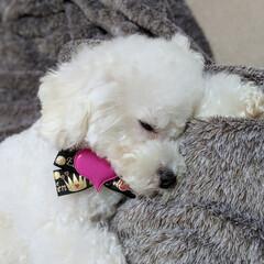 LIMIAペット同好会/ペット/ペット仲間募集/犬/わんこ同好会/おやすみショット/... 可愛く寝てる くらんと…😥😣
