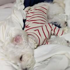 平成最後の一枚/LIMIAペット同好会/ペット/ペット仲間募集/犬/わんこ同好会/... 気持ち良さそうに寝んね😪😴💤 Zzz..…
