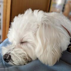 LIMIAペット同好会/ペット/ペット仲間募集/犬/わんこ同好会/おやすみショット/... 寝顔😪😴