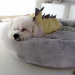 ペット/ペット仲間募集/犬/わんこ同好会/お家/怪獣/... 家にカワイイ💞😍💕怪獣さんが 寝ているよ…